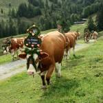 """""""Da Summa ist umma"""": Für den Almabtrieb binden die Bäuerinnen den Kühen selbst gefertigte Kronen und Kränze um."""