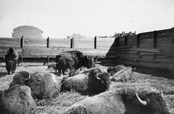 Buffalo Bills tierische Namenspatrone vor den Dächern Sendlings auf der Theresienwiese