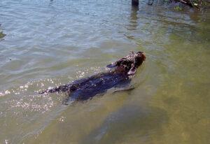Hunde haben wegen der vielen gefiederten Bewohner auf der Roseninsel leider keinen Zutritt – der Dackel Lilli darf sich deshalb nur kurz im Wasser erfrischen.